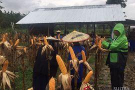 Peserta sekolah lapang iklim panen raya jagung