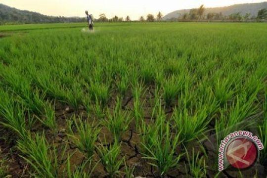 Gagal panen, Ratusan hektare sawah Bombana kekeringan