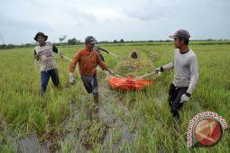 Hama wereng serang ratusan hektare sawah