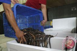 Menjajal pasar ekspor belut ke Tiongkok