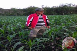 Masyarakat Desa Lubuk Leban budidayakan tanaman jagung