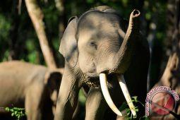 Kawanan gajah rusak  rumah warga