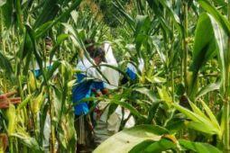 Indonesia tutup impor benih jagung