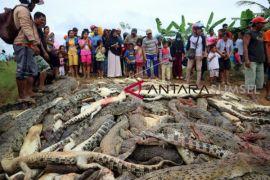 Warga Papua Barat bantai Ratusan ekor buaya