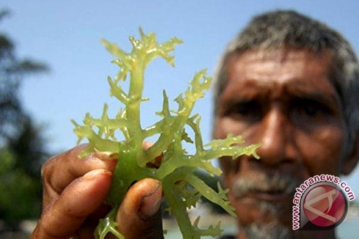 85 persen rumput laut dunia dari Indonesia