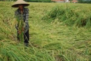 99 Hektare Tanaman Padi Roboh Diterjang Angin Kencang