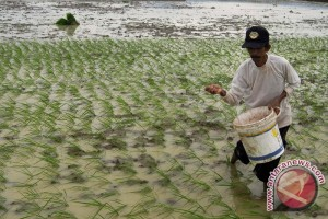 Hindari gagal panen, petani diingatkan tidak tanam padi