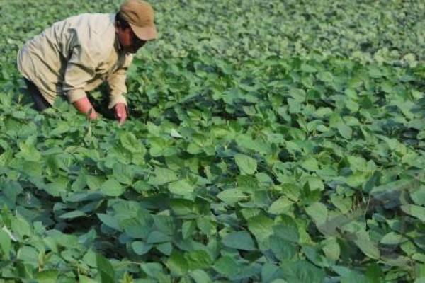 Petani diimbau persiapkan benih kedelai pascapanen padi