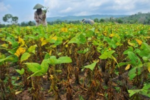 2,5 Hektare Tanaman Kedelai Milik Bulog Puso