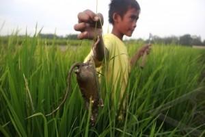 15 Hektare Tanaman Padi di Temanggung Diserang Hama Tikus