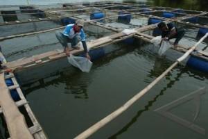 Tingkatkan Konsumsi Ikan, Kawasan Perikanan Budidaya Terus Dikembangkan