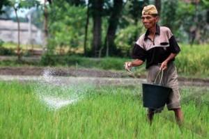 Capaian Luas Tanam Padi Purbalingga Baru 4.181 Hektare