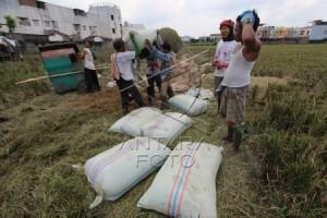Gabah Petani Cilacap Diserbu Pedagang Beras dari Jabar