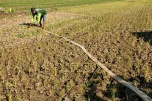 Ratusan Hektare Tanaman Padi di Pekalongan Terancam Kekeringan