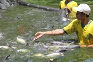Produksi Perikanan Budidaya di Banjarnegara Terus Ditingkatkan