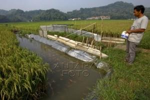 Lebih Menguntungkan, Sistem Mina Padi Diminati Petani