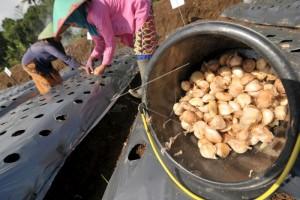 Lahan budidaya bawang putih di Temanggung diperluas