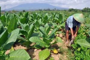 Djarum Perluas Area Tanam Kemitraan dengan Petani Tembakau
