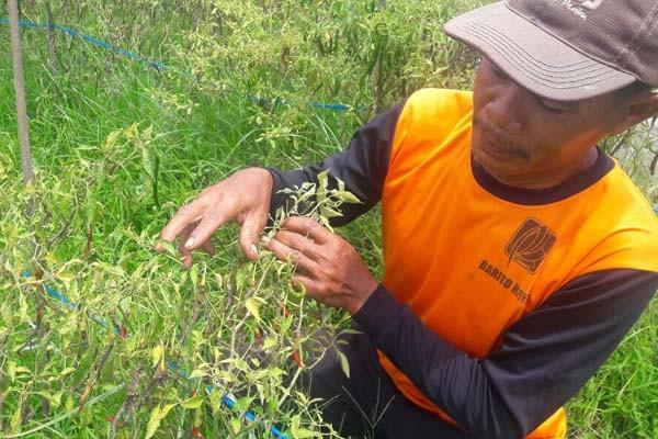Petani: Harga Cabai Rawit Tinggi tapi Produksi Anjlok
