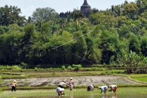 Tanaman Padi di Temanggung Capai 8.851 Hektare