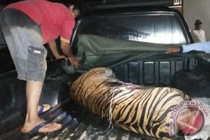 Perburuan Satwa Liar Tantangan Pelestarian Harimau, Populasi Tersisa 17 Ekor