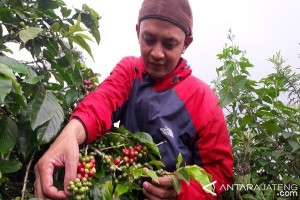 Produksi Kopi Temanggung Diprediksi Turun 50-70 Persen