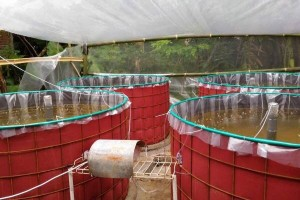 Banjarnegara Kembangkan Budidaya Ikan Bioflok