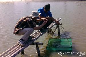Balai Besar Perikanan Budidaya Air Payau Kembangkan Udang Putih