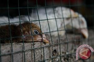 Korsel Musnahkan 12.000 Unggas untuk Atasi Flu Burung