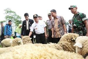 Pasar terbatas, Populasi Domba Batur di Banjarnegara Turun