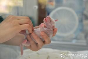 Haizi Lahirkan Bayi Panda Kembar di China