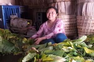 Petani Temanggung mulai panen tembaku