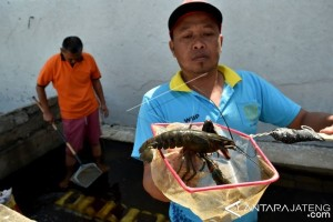 BUDIDAYA LOBSTER AIR TAWAR