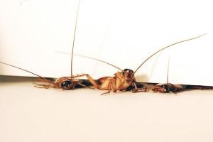 Ahli: Serangga Kecoak Bisa Menjadi Faktor Pencetus Serangan Asma