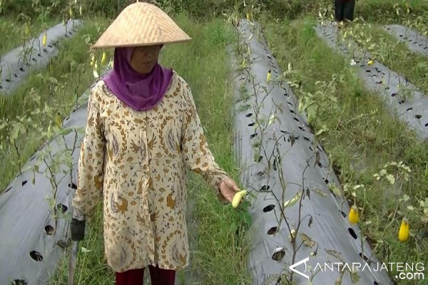 Tanaman Terung di Temanggung Busuk Akibat Hujan