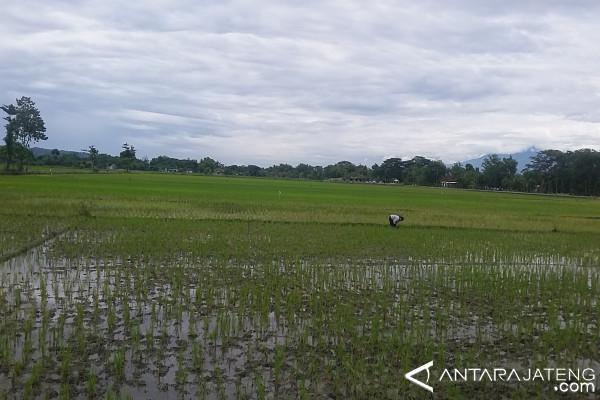300 Hektare Sawah di Klaten Puso