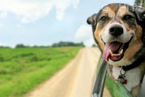Tip Bepergian Dengan Anjing MenggunKan Mobil