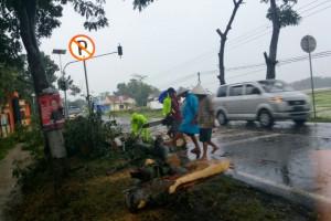Arus Jalur Selatan Jateng Terganggu Pohon Tumbang