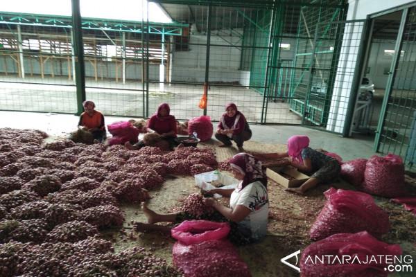 Bulog Pekalongan terus menyerap bawang merah petani