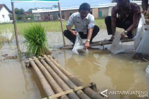 Pekalongan kembangkan program mina padi