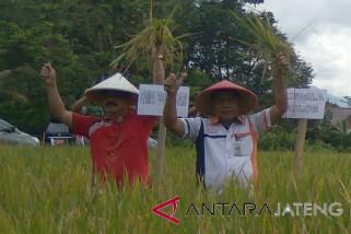 Bulog Surakarta mulai serap panen MT II 200 kilogram/hari