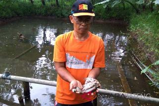 Ribuan ikan gurami mati terserang bakteri, petani Banyumas merugi (VIDEO)