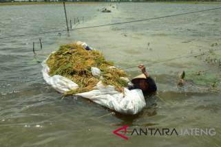 Tanaman padi seluas 139 hektare di Kudus puso