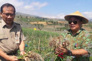 Bawang putih tanaman alternatif petani Temanggung