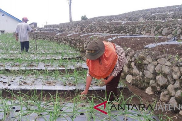 Petani lereng Gunung Sindoro Temanggung tanam tembakau