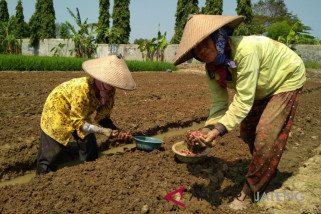Kudus siapkan 20 ha lahan bawang merah
