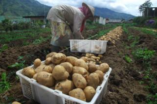 Harga kentang turun