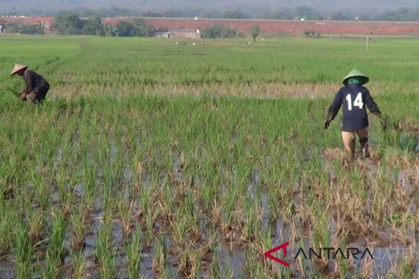 Diserang sundep, puluhan hektare tanaman padi di Batang terancam puso