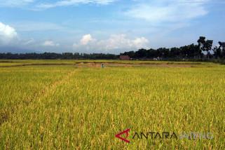 Potensi panen padi di Cilacap capai 20.000 hektare