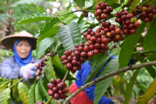 Panen kopi robusta